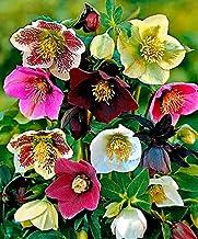100pcs helleborus Hellebore Seeds Christmas Rose Flower Grow in Winter Flower