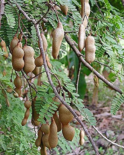 Fruit Plant - Tamarind Tamarindus Indica - Me Thailand - 1 Feet Tall - Ship in 1 Gal Pot. e3