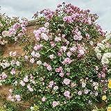 Soteer Garten - 100 pcs Kletterrose Samen Kletterpflanze schnellwachsend Rose