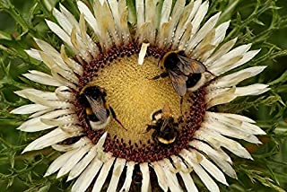 Stemless Carline Thistle, Silver Thistle seeds - Carlina