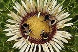 Perché dovresti scegliere i nostri semi? | 1. I nostri semi passano attraverso un'analisi di laboratorio dettagliata prima che entrino nel mercato, inclusi test di qualita ripetuti. Grazie a questa procedura, sono conformi agli standard piu elevati, ...