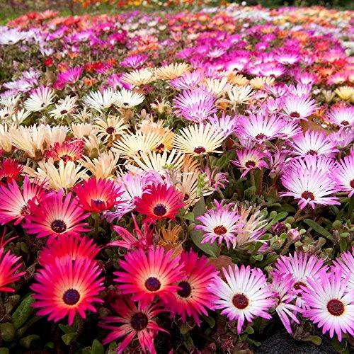Tapis magique Mélange de graines - Mesembryanthemum Criniflorum
