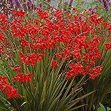 Crocosmia Fairy Crimson Plant 9cm Pot - Herbaceous Perennial Plants for The Garden