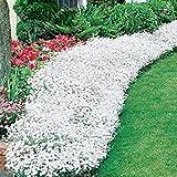 Adolenb Seeds House- 100 pièces rock cresson grimpant plante graines, couvre-sol fleur jardin décoration Vivace fleur graines hardy plantes ornementales
