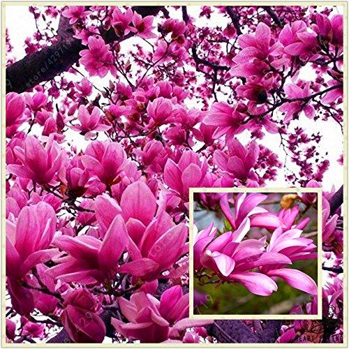 Genie Dark Red Yulan Magnolia Flower Tree Seeds, Paquet professionnel, 15 graines, Lumière Fragrant Tree Garden