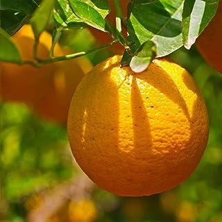 人気果樹!マンダリンオレンジ クレメンティンの苗木【品種で選べる果樹苗木 2年生 接木苗 15cmポット 平均樹高:60cm/1個】(ポット植えなのでほぼ年中植付け可能)世界的にはポピュラーな柑橘類ですが、日本ではまだまだ希少品種! 酸味が少な...
