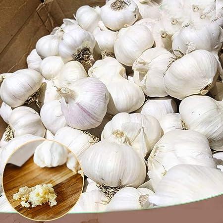 UK Crop Genuine Elephant Garlic 10 Corms RARE