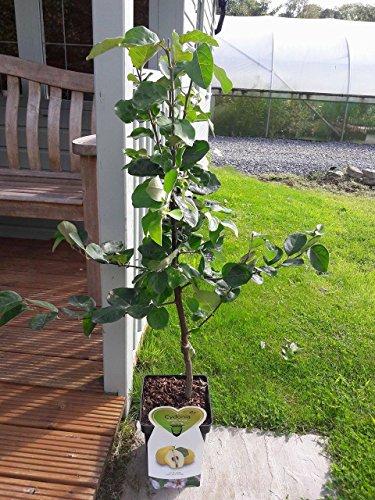 Dwarf Patio Cydonia Oblogna 'Vranja' Quince Tree in 5L Pot, Make Tasty Pies & Jelly 3fatpigs