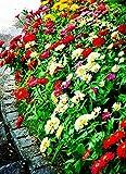 Yumhouse Semillas de Flores para Jardin,Cosmos Seeds grunang Seed Seed-BAI-Day Grass Color_2000 Capsules,Semillas de Flores Exterior trepadoras