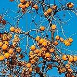 30 semillas de caqui amarillas cultivan tu propia fruta de kazuki en otoño añade al hermoso paisaje y es un buen árbol escénico