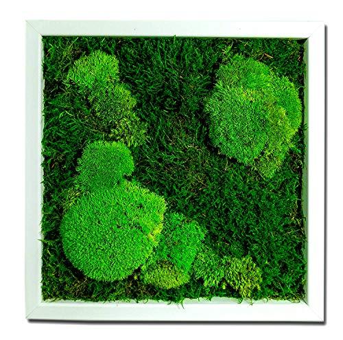 Moosbilder Wandgestaltung, Bild mit Moos und Bilderrahmen, Moosbild, Wandbild, Kugelmoos Moosplatte Pflanzenbilder Moosbilder versch. Maße günstig (25 x 25 cm weiss 50/50{81493292d4404218e4d5e1b369219fafbabbcfee7da06f1312647652459d9c21} Kugelmoos/Flachmoos)