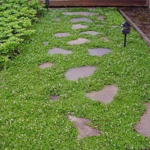 Creeping Semi Veronica Ground Cover (Veronica repens) 100 + Seeds