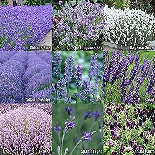 Risalana 1 or 4 Sets x Lavender Flower Herb Seeds - Hidcote, Ellagance Sky & Snow, Lady, Munstead, Rosea, Spanish Eyes, Sancho Panza, Italian,Vera (1 Set)