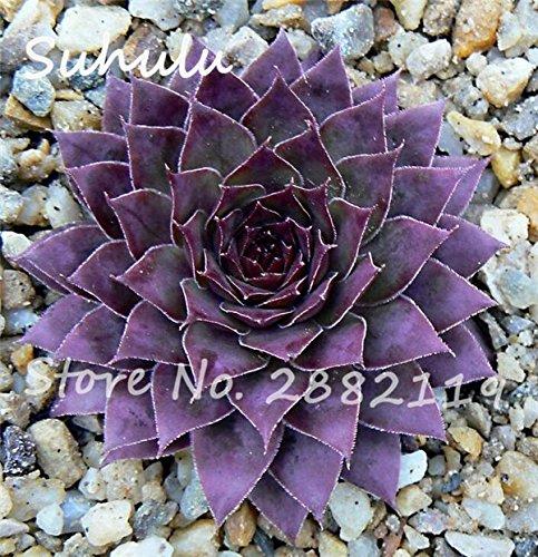 Pas cher 150 Pcs Mini Garden Succulentes Cactus Graines Variées Plantes vivaces Sempervivum Incroyable Maison Poireaux facile Live Forever Cultivez 1