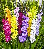 GLAIEUL, Gladiolus Grandiflorus Mélange/Mix, Pack: 100 Bulbes (Calibre XL), Première Qualité, BULBi Spécialiste des Bulbes, Créer un Jardin avec une Mer de Fleurs, Sélection Pour des Fleurs Coupées