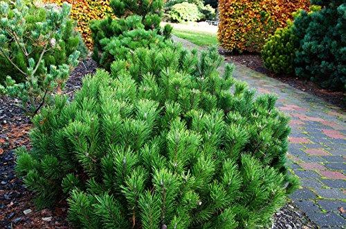 Zwerg-Kiefer Pinus mugo pumilio Containerware 40-50 cm hoch,