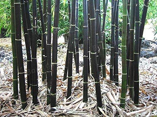 300 graines de bambou noir frais Phyllostachys Nigra. Haute Germination!