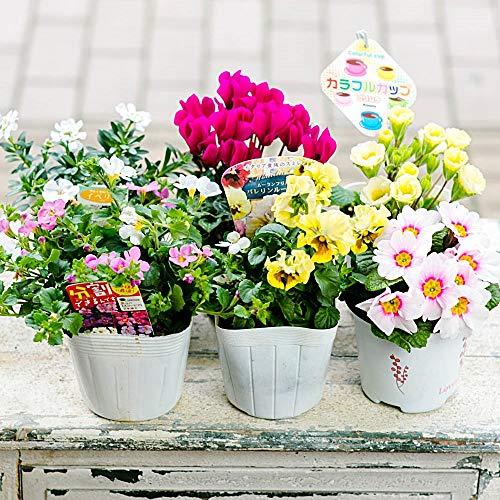 【マケプレお急ぎ便対応】季節の鉢物福袋セット 何が入っているかは届いてからのお楽しみ! ガーデニングや寄せ植えに最適 鉢花 鉢植え 苗物 フラワーギフト 早い者勝ち!いろいろな色・種類・価格帯が選べます! 開店祝い 新築祝い 誕生日祝い ガーデニング 春の寄せ植え primeお急ぎ便 (Sサイズ(4~6個のおまかせ))