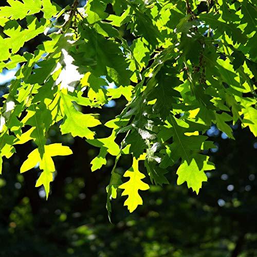 Chêne Chevelu De Bourgogne (quercus Cerris)