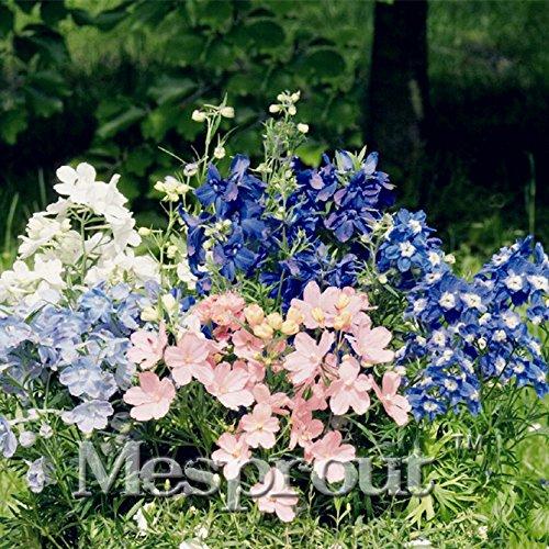 New Home Garten Torrontes 50Samen Rittersporn Waldlilie blau Pygmy Blumensamen