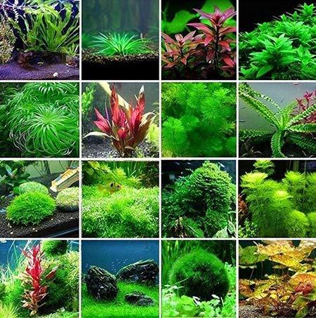Tomasa Samenhaus- Aquarium Pflanzen Wasserpflanzen aquarium Emerald Fluorescent Blumensamen Wasser Grassamen Wasserpflanze Samen wasserpflanze mooskugel