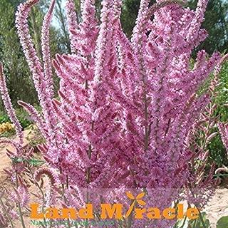 PINK STATICE / SEA LAVENDER Limonium Sinuatum Flower Seeds-Dancing Flower for DIY Home Garden Planting-60 SEEDS / ORIGINAL PACK