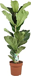 Planta de interior – Ficus Lyrata – Altura: 75 cm
