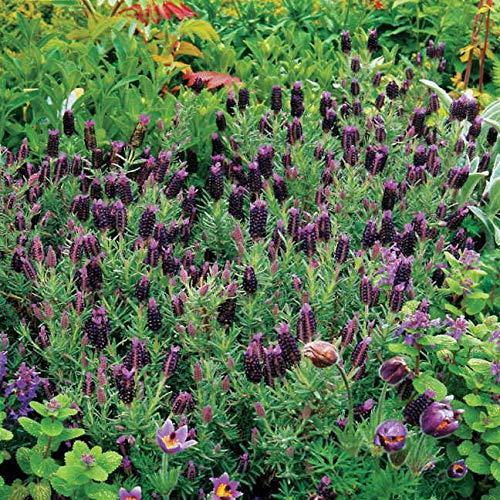 Outsidepride Lavender Sancho Panza - 50 Seeds