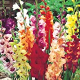 Made and Shipped in USA (25) Fresh Large Bulbs, New, Giant Flowering Mixed Colors Gladiolus Bulbs, Plants, Flowers, Flowering Perennials,Sword Lily, Gladioli-SeedsBulbsPlants&More