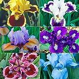 Iris Staude,Schwertlilie Pflanze,Planzen,Machen Sie Die Natur Hochwertig,Besondere,Es Gibt Pflanzen Auf Dem Boden Und Zwiebeln Im Garten,Ein Bisschen Wie-1,6 Zwiebeln