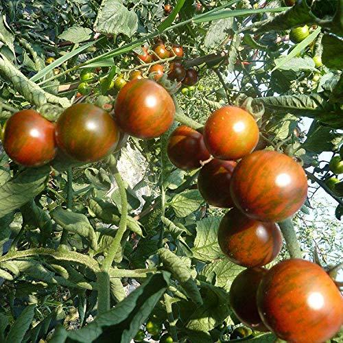 Lustiges Gesicht Huanhuan mehrfarbige Tomatensamen 2g Empfohlene kleine Tomatengemüsesamen 300 Kapseln