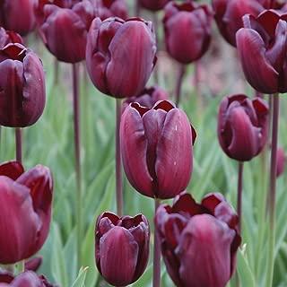 Burpee Continental Tulip | 10 Large Flowering Fall Bulbs for Planting, Burgandy