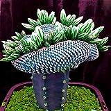 Tomasa Samenhaus- 100 Stücke Selten Sukkulenten Lotus Samen winterhart mehrjährig Zimmerpflanzen Balkon Garten Kräuter pflanzen Bonsai Pflanzen