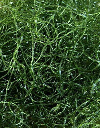 Desconocido OnlineDealShop Chaetomorpha Chaeto Algas, nitrato y fosfato Reductor de Algas macroalgas