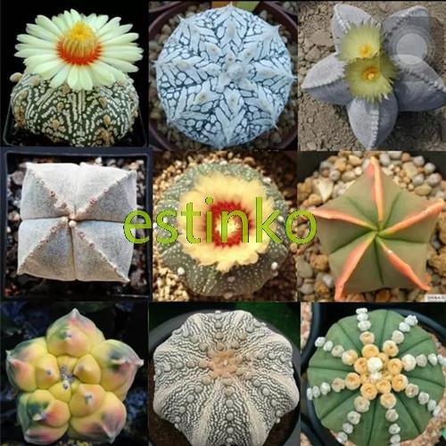20pcs / lot vendedor caliente mezclado Astrophytum Cactus Suculentas Semillas Semillas Bonsai Plantas del jardín de DIY en maceta de flores de la planta