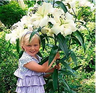 10 St/ück Soteer Garten Duftend Tree-Lily Samen Riesen-Lilien Lilienblumen Baumlilien Lilium Hybride Lilien Saatgut mehrj/ährig winterhart f/ür Garten Balkon//Terrasse