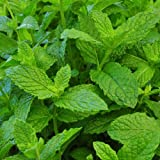 Clovers Garden Mojito Mint Plant – Non-GMO - Two (2) Live Plants – Not Seeds –Each 4'-7' Tal...