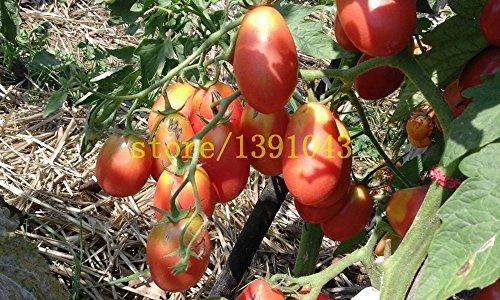 graines de tomates 200 pcs tomates cerises graines de bonsaï rares graines de légumes pour la maison et le jardin de plantation