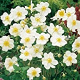 Ultrey Seed House - 50 pcs Autumn Anemone Seeds Rare Flower Seeds Anemone with Large, Cup-Shaped Flowers. Blooms to The Frost Perennial for Garden Balcony/Terrace