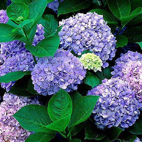 20 pcs Semilla del Hortensia del China,AZX,Flor Hortensia Bonsai,Semillas de Plantas de Jardín,Color Pulpura