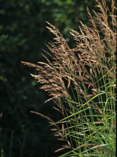 1 oz Seeds (Approx 383062 Seeds) of Calamagrostis Canadensis, Bluejoint, Canadian Reedgrass
