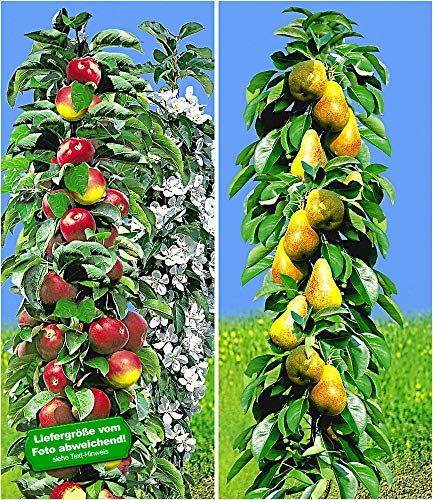 BALDUR-Garten Säulen-Obst Kollektion Birnen & Apfel 2 Pflanzen Birnbaum + Apfelbaum Säulenobst