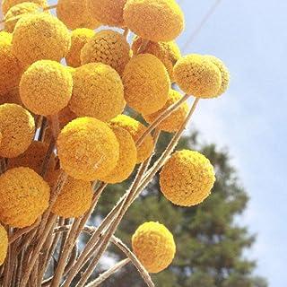 Dried Craspedia Yellow Billy Balls 40 Stems, 1-1.5 inch in Diameter, Dried Flower Branch for DIY Flower Arrangements Home Decor