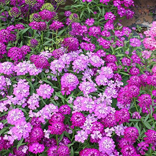HTHJA Pflanzen für Balkon und Terrasse,Winterkalte und dürretolerante Bienenhaus-Blumensamen, verwendet für Garten-Außendekoration 500g,samen für Hausgarten,Balkon,Terrasse