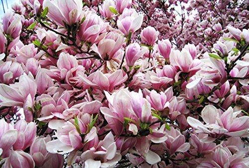 Diamond Garden Rose Magnolia arbre Graines 55 Graines