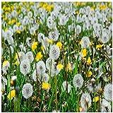 Leftroad Perennes Resistentes para balcón,Semillas de Flores de Diente de león perennes jardinería al Aire libre-500g,Maceta para Plantas de jardín/Interiores