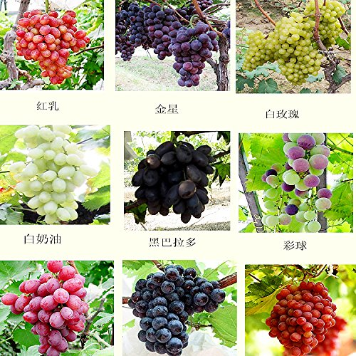 mixtes 30 graines / planter les semis d'arbres fruitiers de graines de semences de fruits de raisin plants en pot de pépins de raisin Kyoho enfant rouge mention