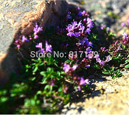 Diy jardin des plantes 200 graines Herb - Thymus mongolicus, Thymus Vulgaris - GRAINES English Winter Thyme Herbal Livraison gratuite