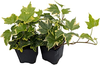 "Gold Child English Ivy - Hardy Groundcover/House Plant -Sun/Shade-2 Pack 3"" Pots"