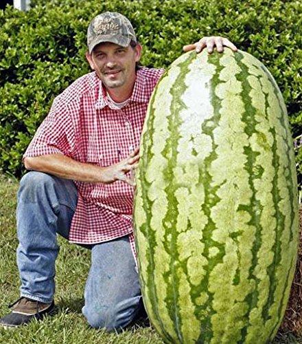 tum della confezione 50 pezzi giganti anguria Semi di frutta Piantare Semi dell'anguria NON-OGM frutti commestibili
